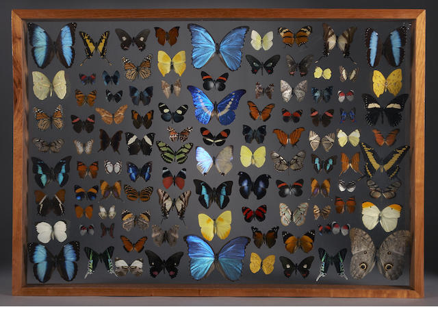 Collection of 100 Butterflies, Framed