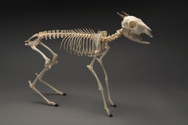 Duiker Deer Skeleton