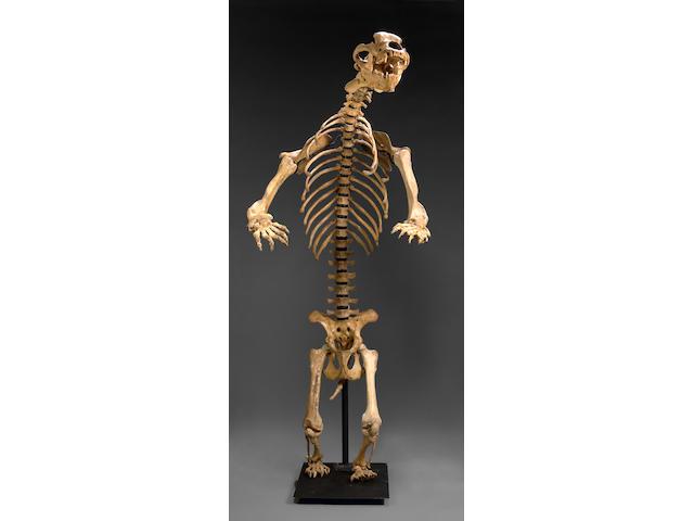Great Cave Bear Skeleton