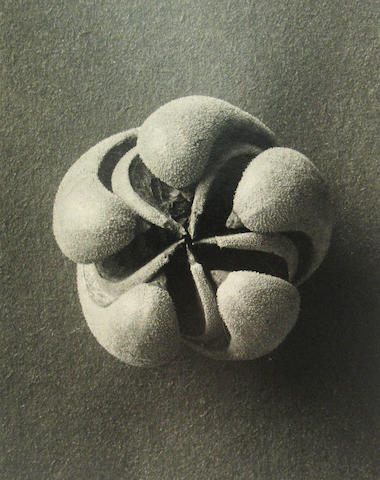 Karl Blossfeldt (German, 1865-1932); Plant Form;