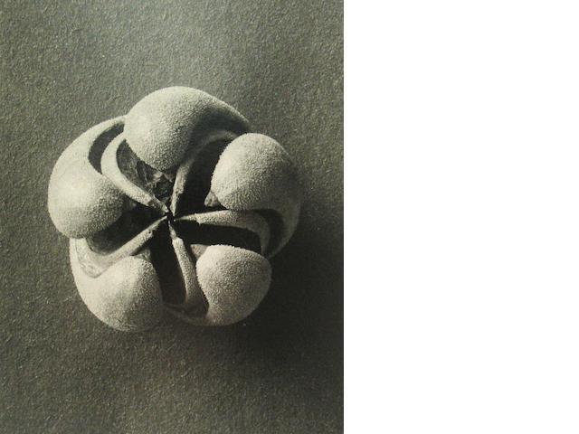 Karl Blossfeldt, Seed Plant Form;