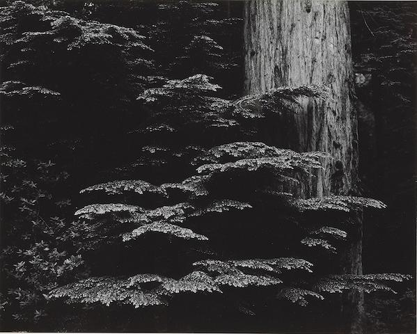 Brett Weston (American, 1911-1993); Redwoods, California;