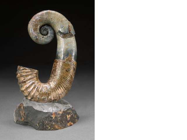 Russian Coiled Ammonite