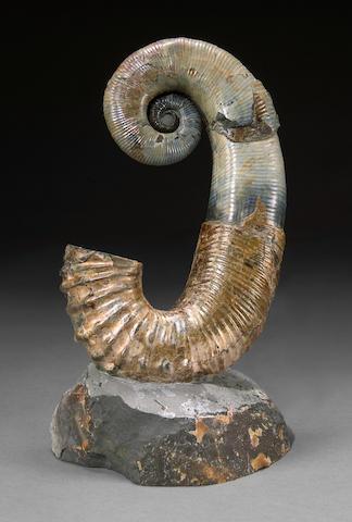 Russian Coiled Ammonite
