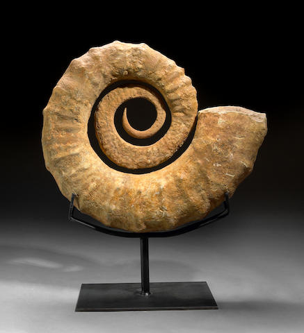 Coiled Ammonite