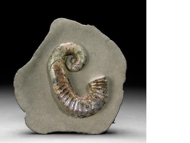 Andouliceras Ammonite