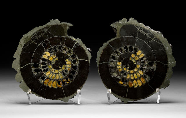 Pyritized Ammonite Pair