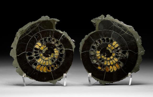 Pyritized Ammonite Pair