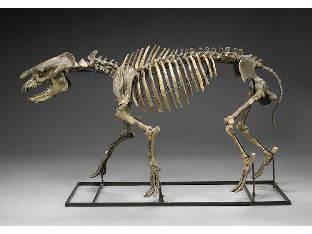 Titanothere Skeleton
