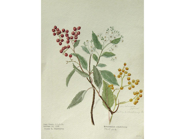 Sophie Fauntleroy (American, died 1948) Plants of the California Redwood Forest and other botanical sketches (approximately 944 plates) c. 1906 each 12 x 9in each unframed