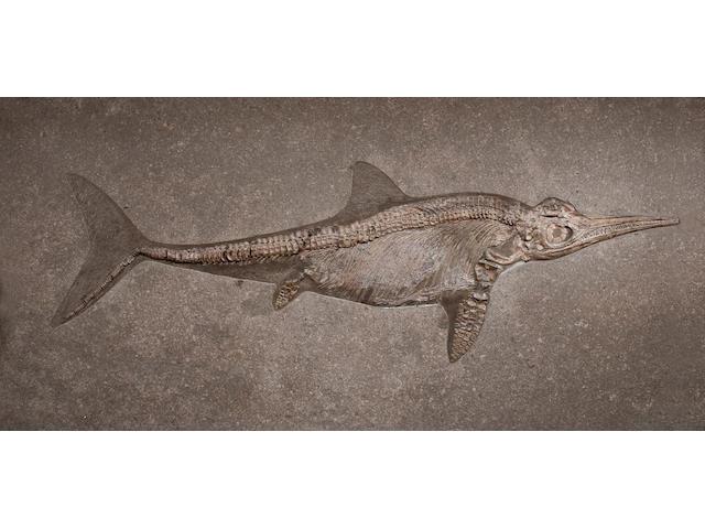 Large Jurassic Ichthyosaur