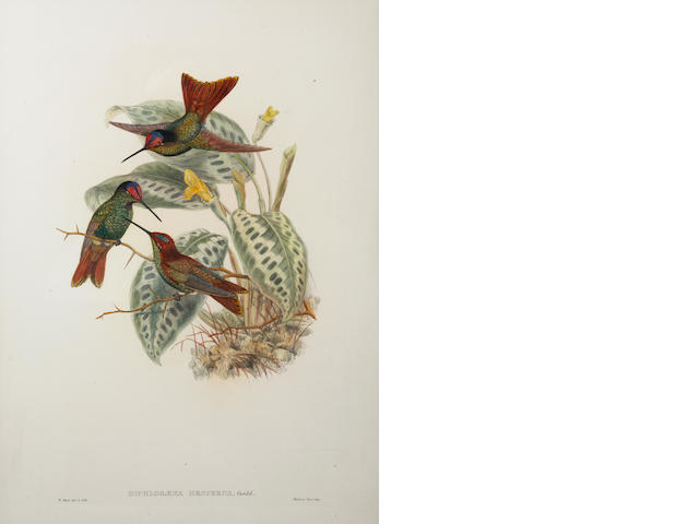 John Gould (British, 1804-1881); Diphlogaena Hesperus (Ecuadorean Rainbow), from A Monograph of the Trochilidae or Family of Hummingbirds;