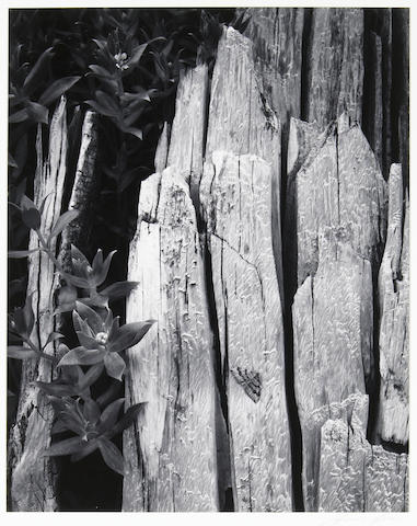 Ansel Adams (American, 1902-1984); Moth and Stump, Interglacial Forest, Pl. 6, from Portfolio II;