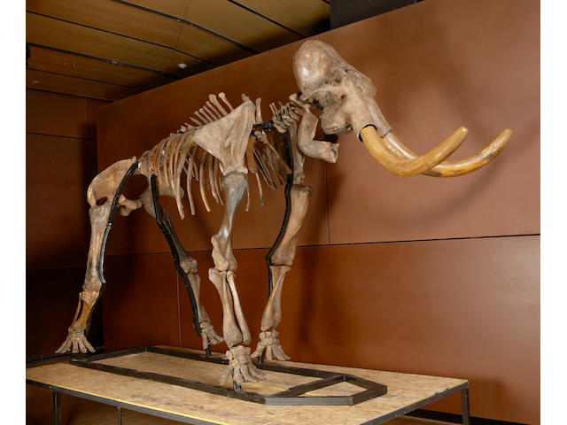 Woolly Mammoth Skeleton