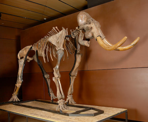 Bonhams : Woolly Mammoth Skeleton