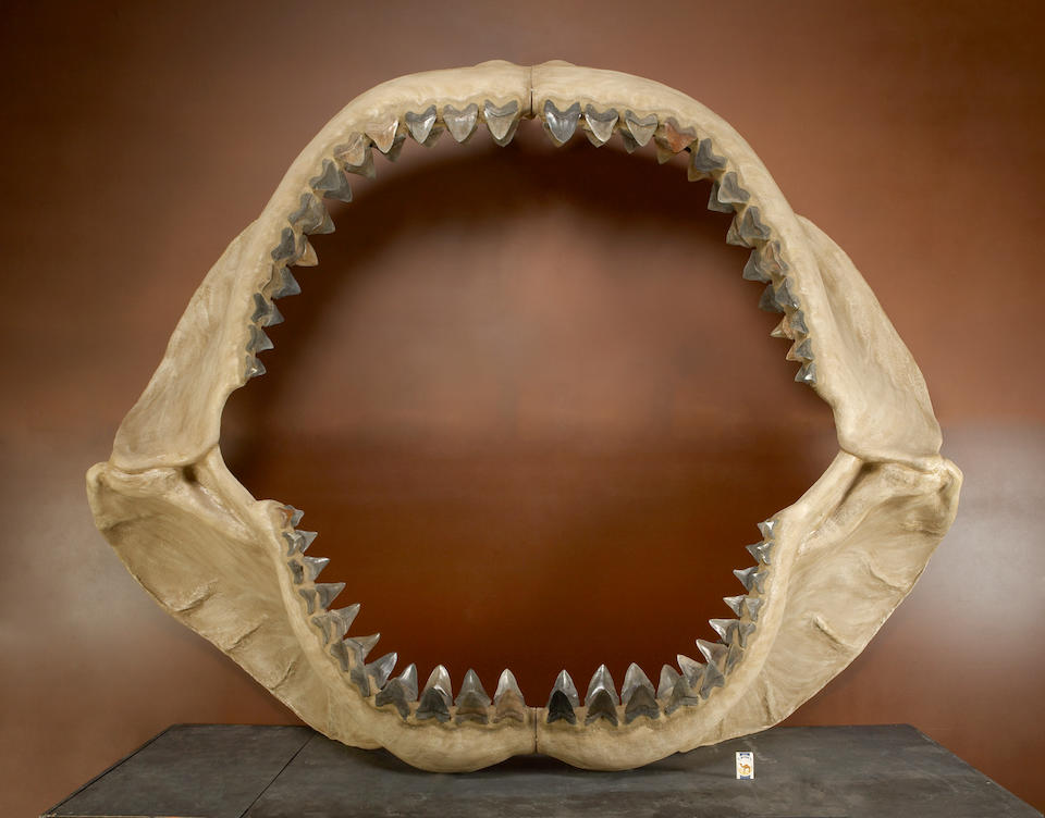World's Largest Known Set of Shark Jaws