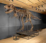The T. rex known as Samson - One of the Most Complete Tyrannosaurus rex Specimens in Existence