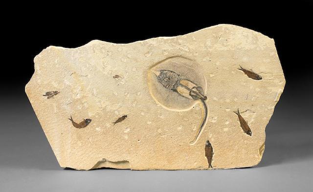 Fossil Stingray Mural