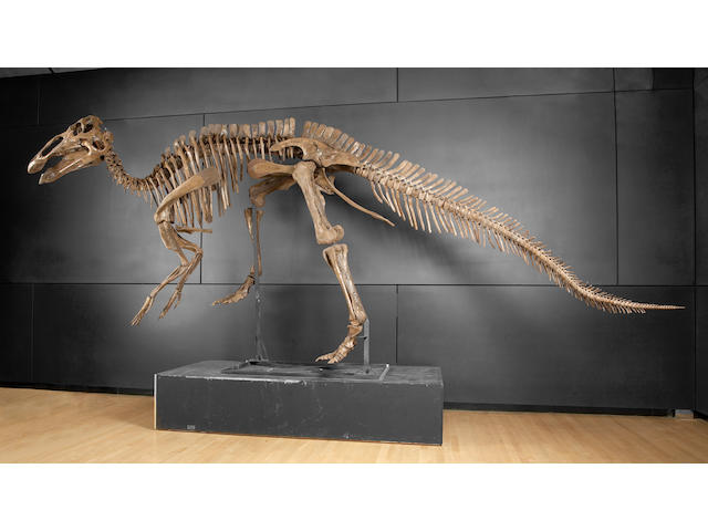 Duck-billed Dinosaur – Virtually Complete Mounted Skeleton