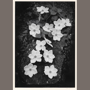 Ansel Adams (American, 1902-1984); Dogwood, Yosemite National Park;