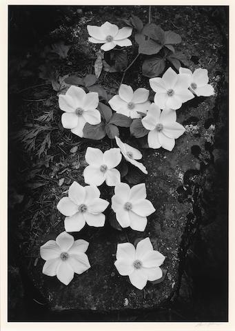 Ansel Adams (American, 1902-1984); Dogwood, Yosemite National Park;