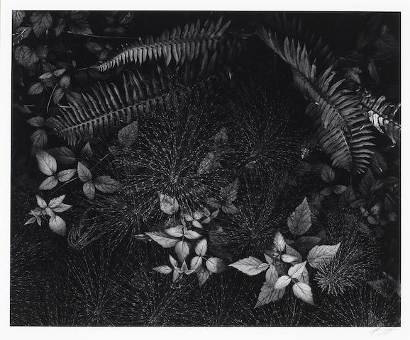 Ansel Adams (American, 1902-1984); Leaves, Mills College, California;