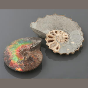 Two Ammonites, one Iridescent