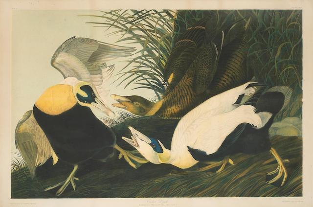 (n/a) After John James Audubon (American, 1785-1851); Eider Duck (Pl. 405);
