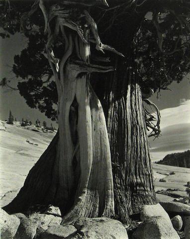 Edward Weston/Cole Weston Juniper Tenaya Lake 1937 silver print