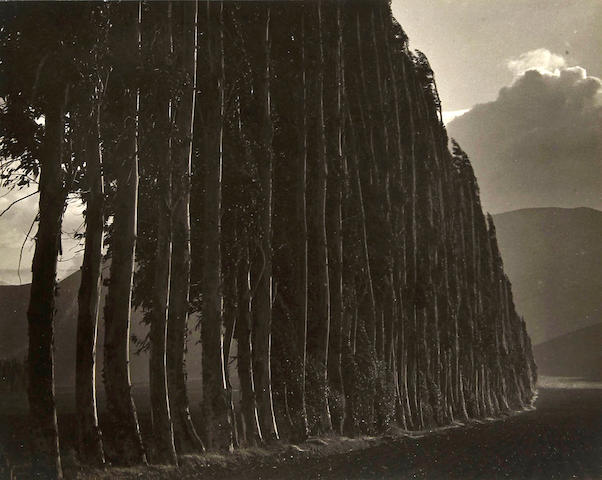 Johan Hagemeyer (Dutch/American, 1884-1962); Eucalyptus, Carmel;