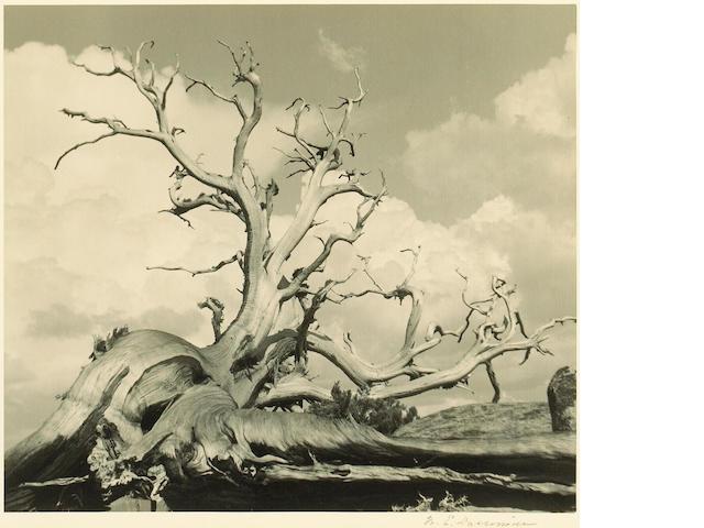 William E. Dassonville (American, 1879-1957); Weathered Tree;