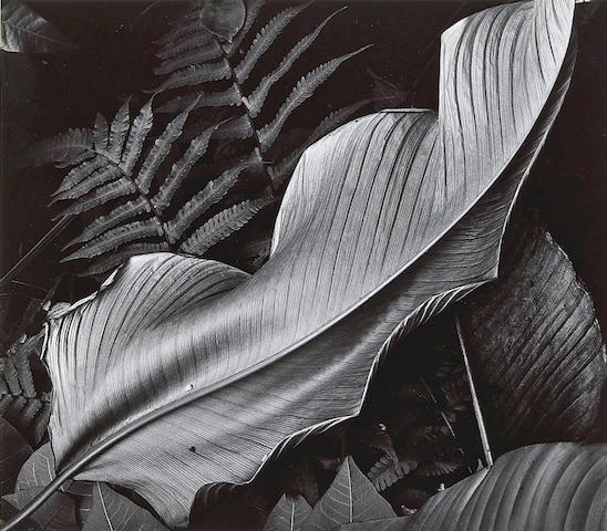 Brett Weston (American, 1911-1993); Leaves, Hawaii;