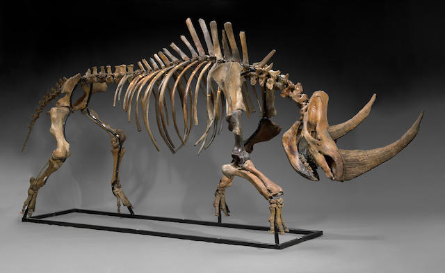 Massive Woolly Rhinoceros Skeleton