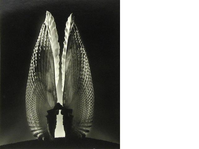 Ruth Bernhard (American, 1905-2006); Angel Wings;