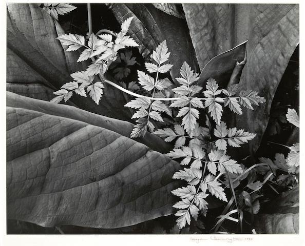 Imogen Cunningham (American, 1883-1976); Leaves;