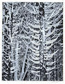 Ansel Adams (American, 1902-1984); Cedar Trees, Winter, Yosemite National Park;