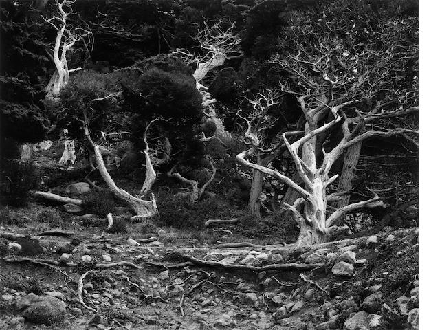 Edward Weston (American, 1886-1958); Cypress Grove, Point Lobos;