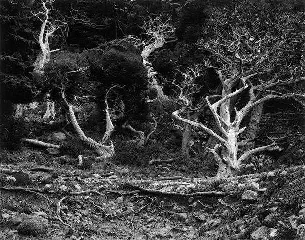 Edward Weston (American, 1886-1958); Cypress Grove, Point Lobos;