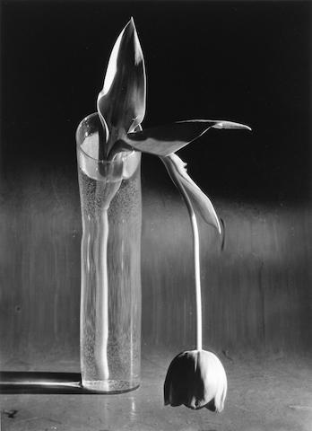 (n/a) André Kertész (Hungarian/American, 1894-1985); Melancholic Tulip;