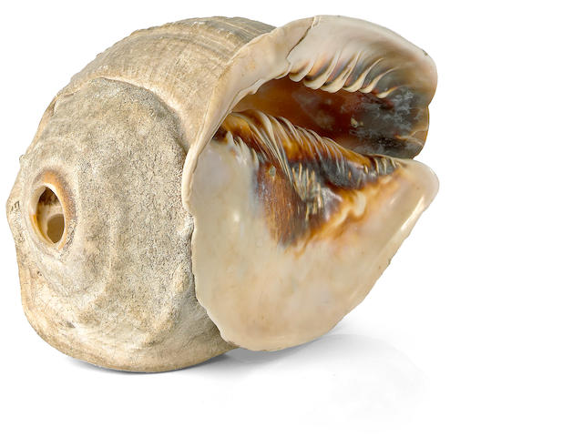 Conch Shell Trumpet, pu, Hawaiian Islands