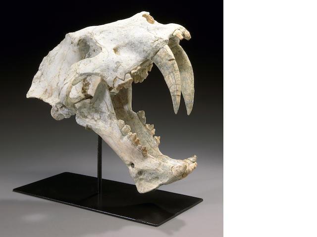 Sabercat Skull