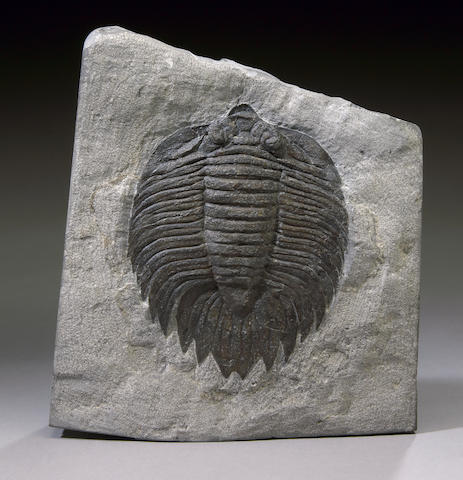 Classic American Trilobite