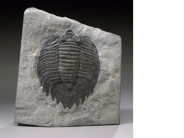 Arctinurus Trilobite