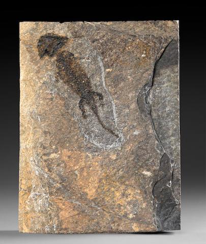 Fossil Amphibian