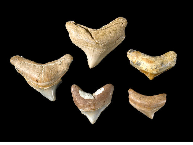5 small Megalodon teeth