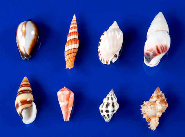 A Collection of 82 Highly Exotic Smaller Tropical Shells