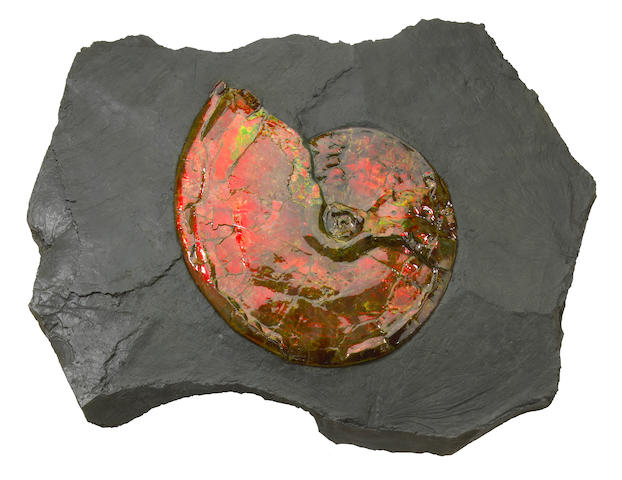 Canadian Ammonite