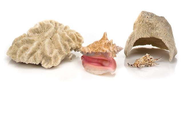 Two white Coral and two shells reassigned to January auction