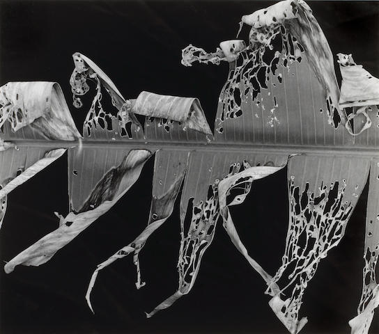 Brett Weston (American, 1911-1993); Torn Leaf; Leaf and Rain Drops, from Hawaii Portfolio; (2)