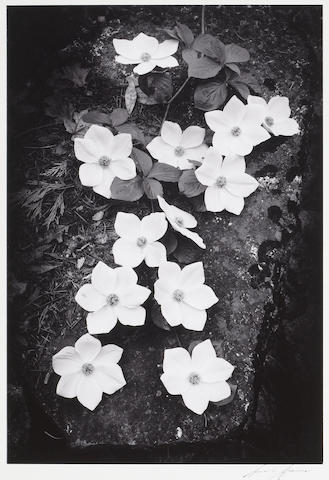 Ansel Adams (American, 1902-1984); Dogwood Blossoms;
